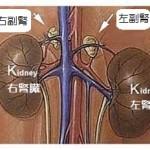副腎の場所(クリックで拡大)