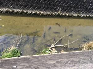 天白川の鯉